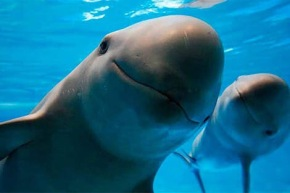 #Animalia / México logra apoyo para salvar a la vaquitamarina