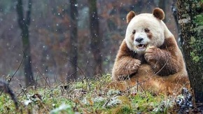 #Viral / Video: Conoce a Qizai, el primer y único panda marron en todo el mundo