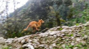 #Animalia / Redescubren al perro de la raza más antigua y rara delmundo